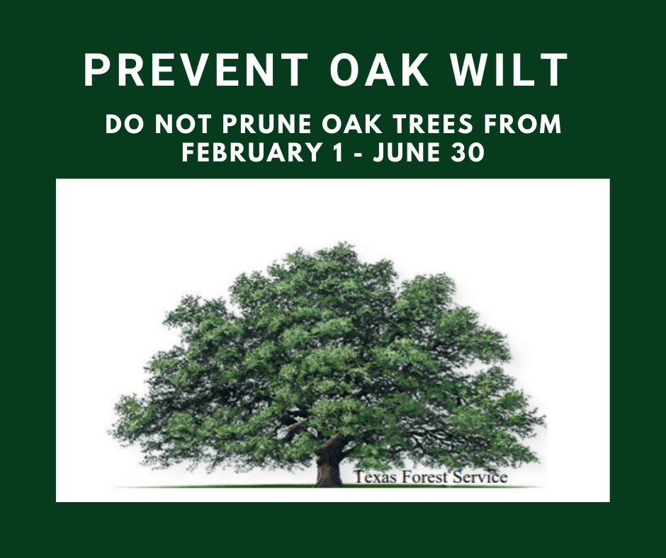 Oak Pruning ends Feb 1